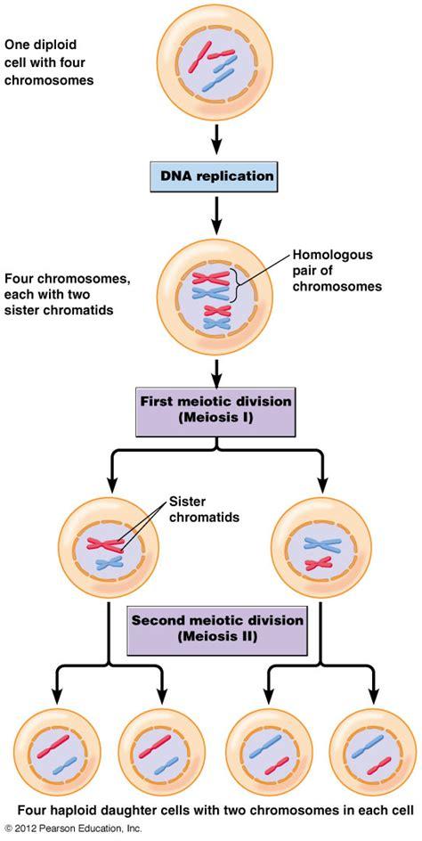 Diploid vs haploid cells youtube jpg 542x1080